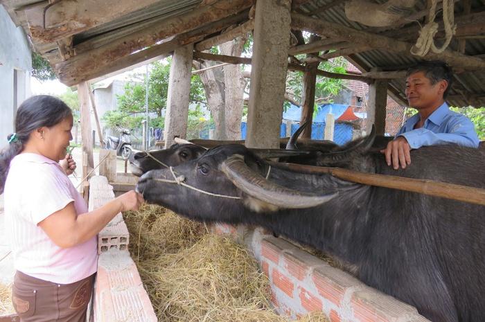 Tết năm Sửu, thăm những người dân nuôi trâu ở đất võ Bình Định - Ảnh 2.