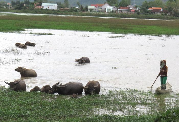Tết năm Sửu, thăm những người dân nuôi trâu ở đất võ Bình Định - Ảnh 3.