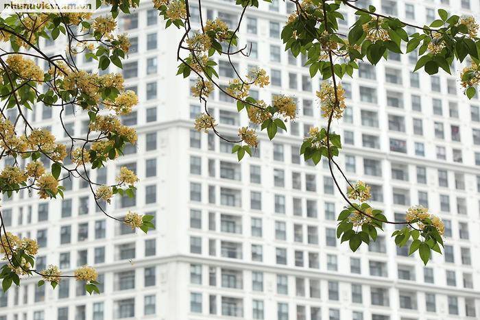 Cây hoa Bún 300 tuổi tỏa hương khoe sắc giữa lòng Thủ đô - Ảnh 2.