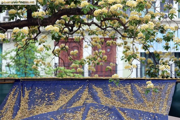 Cây hoa Bún 300 tuổi tỏa hương khoe sắc giữa lòng Thủ đô - Ảnh 3.