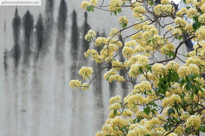Cây hoa Bún 300 tuổi tỏa hương khoe sắc giữa lòng Thủ đô - Ảnh 5.