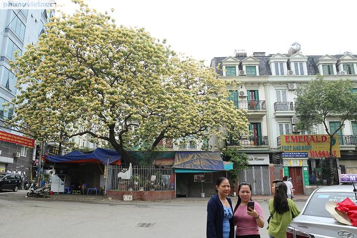 Cây hoa Bún 300 tuổi tỏa hương khoe sắc giữa lòng Thủ đô - Ảnh 6.