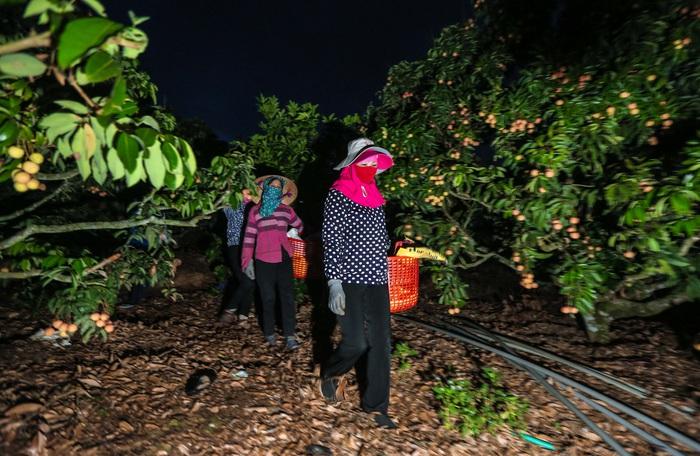 Chùm ảnh: Người dân Lục Ngạn soi đèn pin thu hoạch vải xuyên đêm - Ảnh 1.
