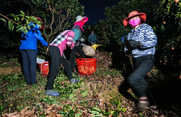 Chùm ảnh: Người dân Lục Ngạn soi đèn pin thu hoạch vải xuyên đêm - Ảnh 2.