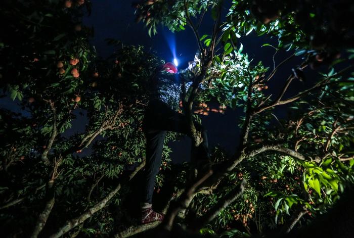 Chùm ảnh: Người dân Lục Ngạn soi đèn pin thu hoạch vải xuyên đêm - Ảnh 3.