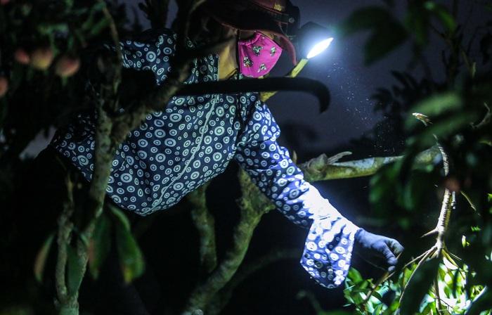 Chùm ảnh: Người dân Lục Ngạn soi đèn pin thu hoạch vải xuyên đêm - Ảnh 4.