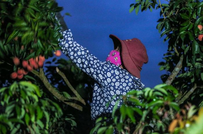 Chùm ảnh: Người dân Lục Ngạn soi đèn pin thu hoạch vải xuyên đêm - Ảnh 5.