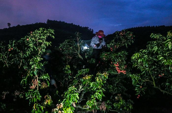 Chùm ảnh: Người dân Lục Ngạn soi đèn pin thu hoạch vải xuyên đêm - Ảnh 6.