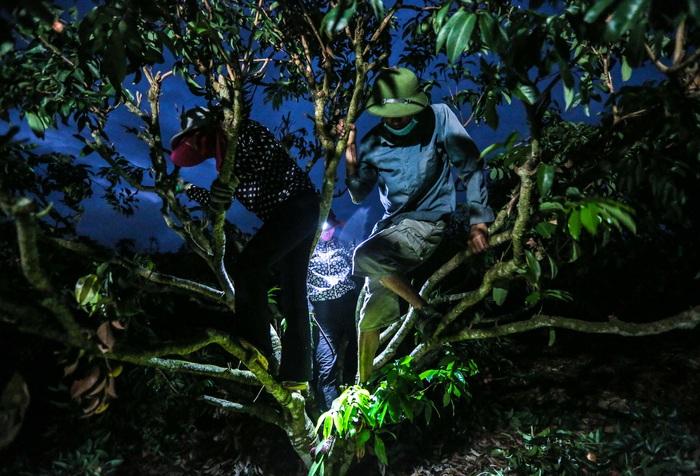 Chùm ảnh: Người dân Lục Ngạn soi đèn pin thu hoạch vải xuyên đêm - Ảnh 7.
