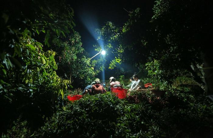 Chùm ảnh: Người dân Lục Ngạn soi đèn pin thu hoạch vải xuyên đêm - Ảnh 8.