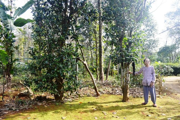 Người lưu giữ vườn chè cổ thụ ở vùng đất đỏ bazan - Ảnh 4.