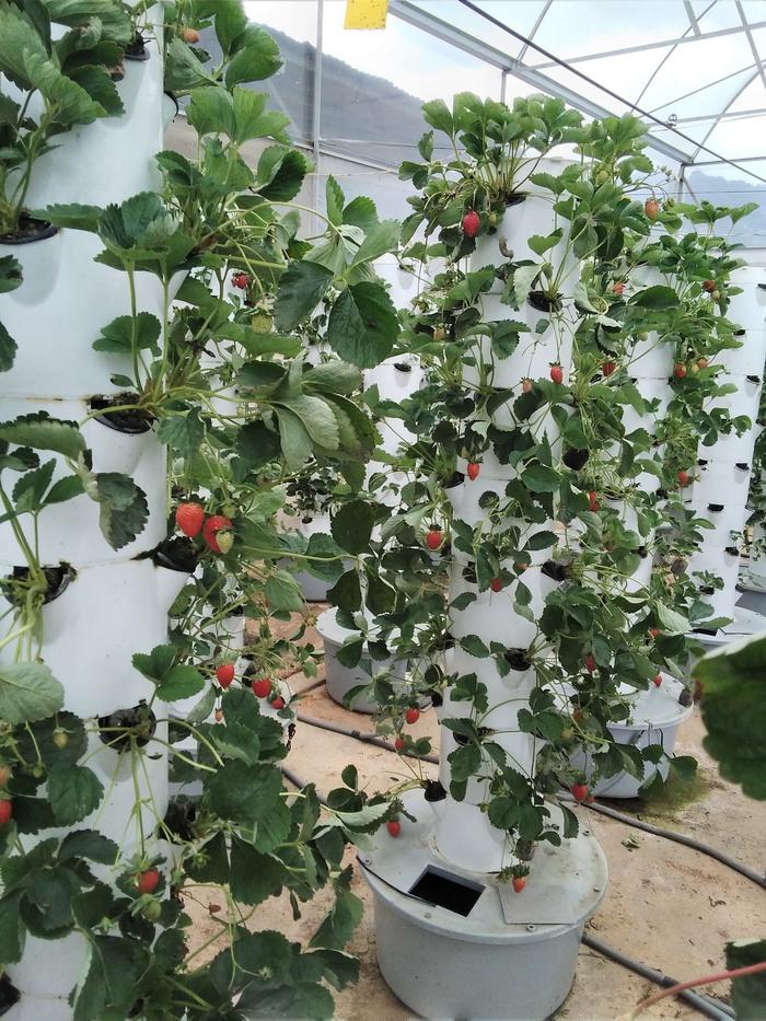 Ước mơ làm nông dân và công nghệ thông minh trồng dâu sạch - Ảnh 2.