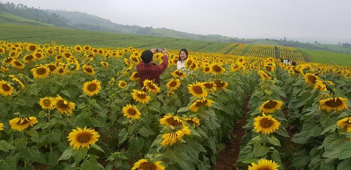 Tổng diện tích trồng hoa lên tới gần 100 ha