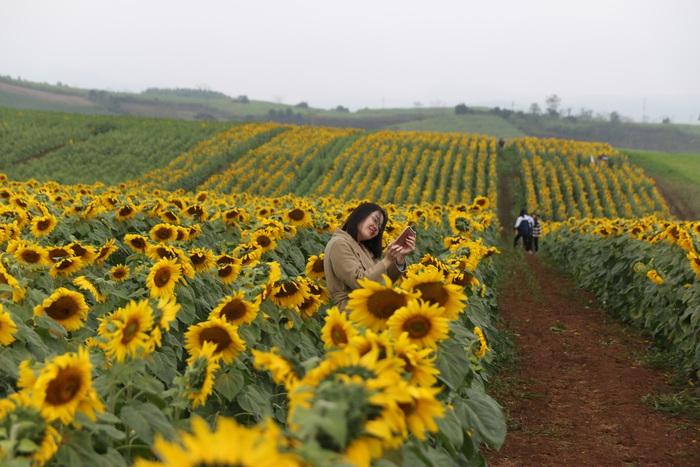 Cánh đồng hoa hướng dương rộng nhất Việt Nam tại xã Nghĩa Lâm, huyện Nghĩa Đàn, tỉnh Nghệ An