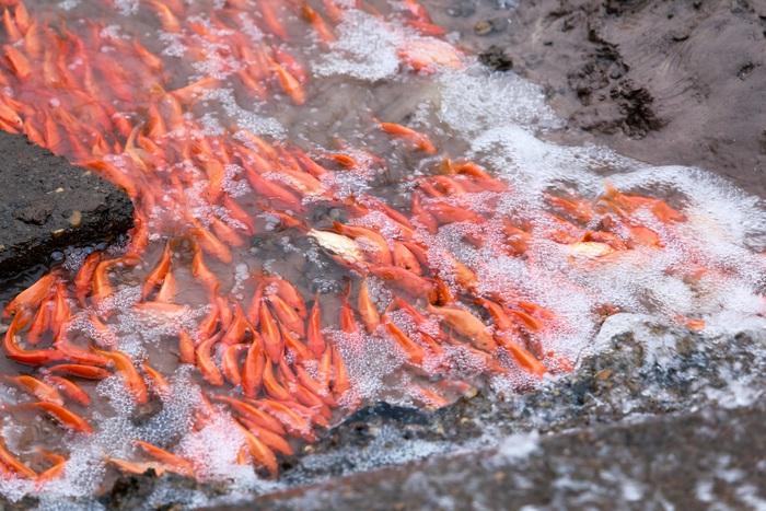 Làng Thủy Tầm được xem là làng nuôi cá chép đỏ truyền thống, lâu đời và lớn nhất miền Bắc.