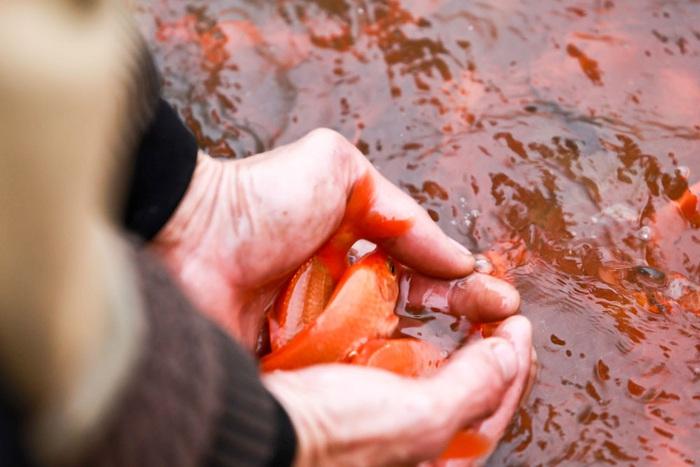 Cá chép đỏ Thủy Trầm được người dân gây giống, chăm sóc từ khoảng tháng 6 hàng năm cho đến tháng Chạp. Tiêu chuẩn của một con cá đẹp là mình đỏ đẹp, mắt đen và có mỡ cá...
