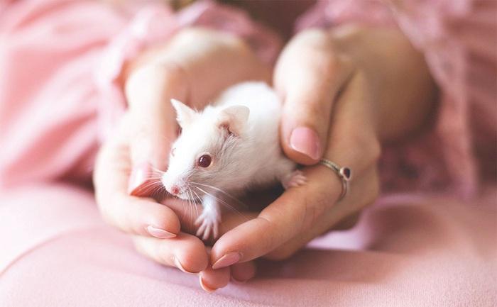 Lịch sử y học kỳ thú của chuột thí nghiệm - Ảnh 2.