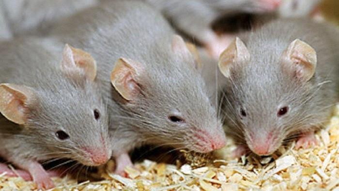 Những điều thú vị chúng ta ít biết về loài chuột - Ảnh 2.