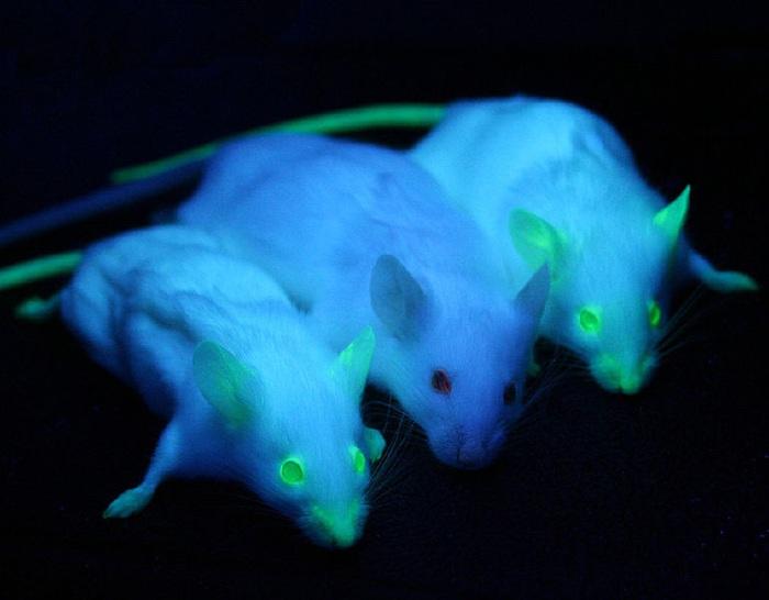 Chuột biến đổi gen