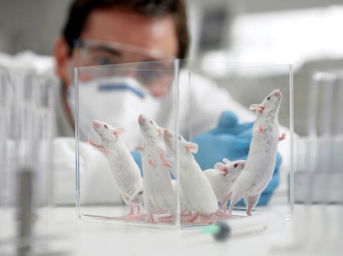 Sử dụng chuột biến đổi gen trong nghiên cứu y học chữa các bệnh nan y
