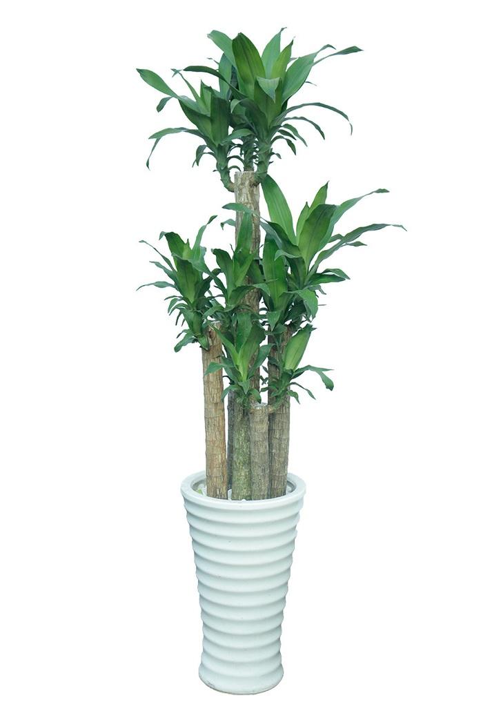 4 loại cây thực vật giúp hạn chế ô nhiễm không khí trong nhà  - Ảnh 3.