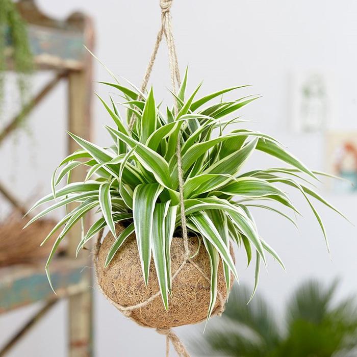 4 loại cây thực vật giúp hạn chế ô nhiễm không khí trong nhà  - Ảnh 4.