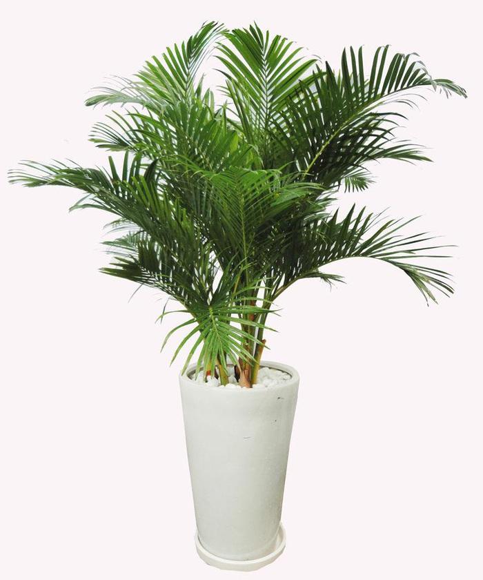 4 loại cây thực vật giúp hạn chế ô nhiễm không khí trong nhà  - Ảnh 2.