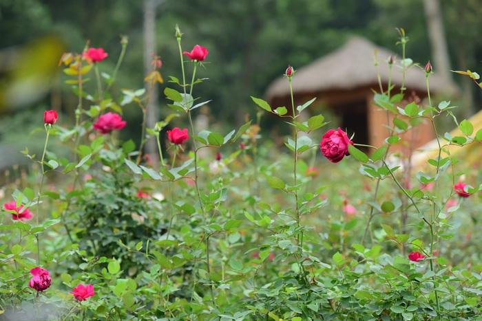 Khu vực vườn hồng từng được trao kỷ lục Vườn hồng lớn nhất Việt Nam