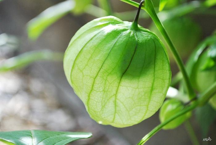 Loại quả dại mọc đầy ở Việt Nam, ở Nhật bán 700.000 đồng/kg - Ảnh 3.