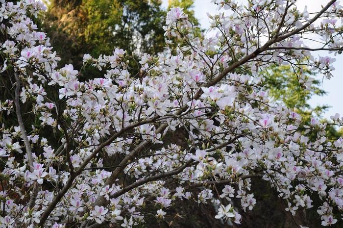 Lạc bước bởi nụ cười gái Thái và hoa ban trắng trời    - Ảnh 2.