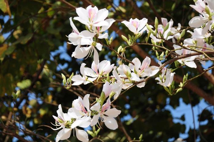 Lạc bước bởi nụ cười gái Thái và hoa ban trắng trời    - Ảnh 7.