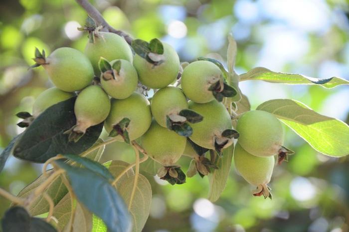 Táo mèo, còn gọi quả Sơn Tra đang vào mùa sai trĩu quả trên hành trình đến hồ Noong U du ngoạn