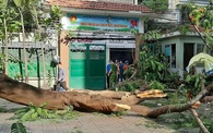 Phong tỏa hiện trường vụ cây phượng bật gốc làm thương vong nhiều học sinh
