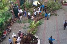 Từ sự cố cây đổ đè chết học sinh: Cây phượng có phù hợp trồng trong trường học?