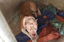 Chó pitbull nặng 40kg của chủ nhà cắn công nhân làm thuê gây thương tích nặng