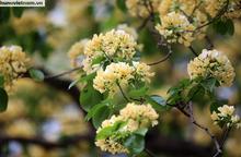 Cây hoa Bún 300 tuổi tỏa hương khoe sắc giữa lòng Thủ đô