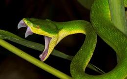 Cứu bé trai 4 tuổi bị rắn độc cắn