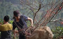 Cấm chặt đào rừng tự nhiên phù hợp với quy định của pháp luật
