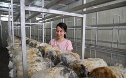 Làm giàu từ trồng nấm rơm bằng công nghệ sinh học