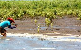 Giới trẻ nhiệt tình tham gia nuôi rừng ngập mặn Cà Mau