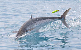 Hi hữu: Cá thu 18kg vọt khỏi mặt nước húc chết người