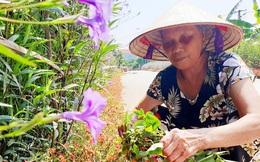 Người phụ nữ tự trồng gần 300m đường hoa làm đẹp quê hương