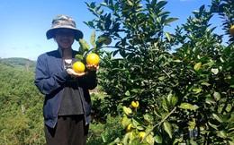 Mô hình trồng cam cho thu nhập khá, đưa thương hiệu cam Vũ Quang vươn xa
