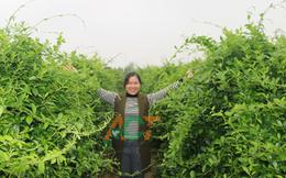 Hợp tác xã dược liệu giúp hội viên thu nhập gấp nhiều lần trồng lúa