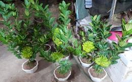 Người phụ nữ tuổi 40 thắng lớn 70 triệu nhờ cận Tết buôn được lô cây phật thủ bonsai giá mềm