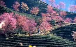 Đến Sa Pa ngắm hoa anh đào Nhật Bản