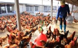 2 tổ chức Quốc tế kêu gọi Việt Nam cảnh giác trước cúm gia cầm lây sang người