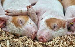 Nghiên cứu chỉ ra lợn và chuột có thể hấp thụ oxy qua hậu môn