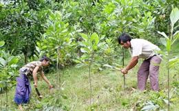 Trợ cấp 15 kg gạo/khẩu/tháng khi trồng rừng thay thế nương rẫy?