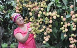Chủ tịch tỉnh Bắc Giang: Người tiêu dùng có thể yên tâm về vải thiều